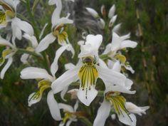 OrquíDeas Chilenas. FotografíAs De Rodrigo Leiva.