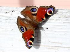 Moth, Insects, Bird, Garden, Animals, Animales, Animaux, Lawn And Garden, Birds