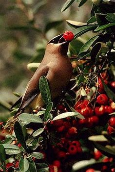 Birds eating berries - article lists the best shrubs that produce berries for birds