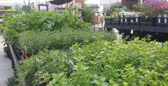 Herbs for your garden or windowsill...