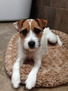 Zooey - Parson Russell Terrier -- This makes me wonder if Xena has some Parson Russell Terrier in her, she's identical to this!