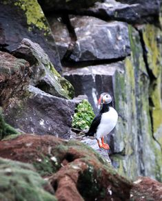 Browse Free HD Images of Atlantic Puffin Perched Atop Rocky Cliffs Covered In Moss