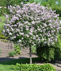 lilac tree in 2018