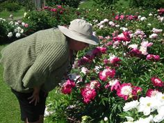 Lead gardener Sharon Saunders takes a break from her busy day to admire the peony beds. -  Lorraine Flanigan