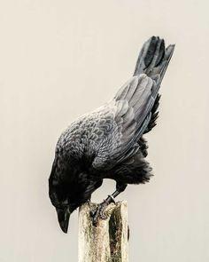 Common Raven                                                                                                                                                      More