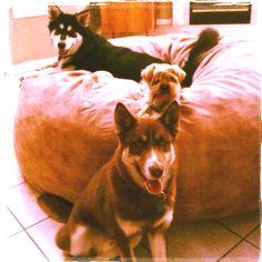 Mowgli, jusun, Kovu. Malamute yorkie husky