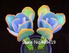 200 seeds / lot Echeveria Mebina agavoides Romeo semillas suculentas mini bonsai Ideal Lithops plantas en maceta Cactus envío gratis
