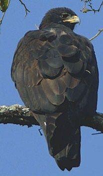 Black Eagle Black Eagle, Storks, Vulture, Birds Of Prey, Raptors, Falcons, Bird Species, Hawks, Bird Feathers