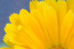 Yellow Petals on blue backround by FloatingLeafArts on Etsy