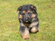 pes německého ovčáka