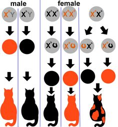The Genetics of Calico Cats. Very interesting. I didn't know that almost all calico cats are female!