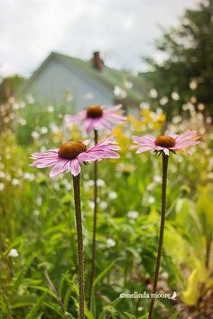 Cone Flowers :)(: