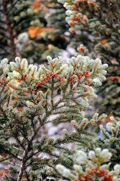Baby-pinecones, almost felt Christmasy