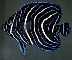 Semicircle Angelfish (Pomacanthus semicirculatus), juvenile