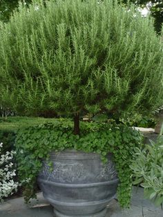 Rosemary is the easiest to grow and it grows quickly, so if you're looking to add topiaries to your garden or porch, this is the best plant to choose!
