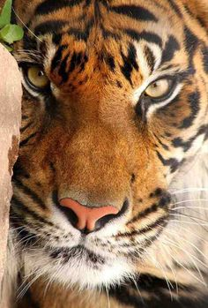 There are four Big Cats: Tiger, Lion, Leopard and Jaguar. My favourite is the Tiger. Although I do love big cats! Vida Animal, Mundo Animal, I Love Cats, Big Cats, Beautiful Cats, Animals Beautiful, Gorgeous Eyes, Animals And Pets, Cute Animals