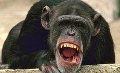 Los primates también sufren la crisis de la mediana edad