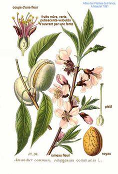 almond // almendro // Prunus dulcis