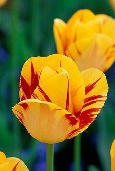 Beautiful olympic flame tulip.
