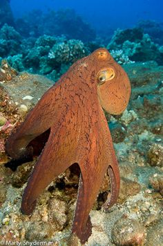 Day Octopus, Octopus cyanea by Marty Snyderman