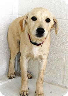 Carter - URGENT - DOGS AT THIS SHELTER ARE ONLY HELD FOR A SHORT AMOUNT OF TIME - 4 months old - Labrador Retriever mix - Fayetteville, WV - Fayette County Animal Control Center - http://www.fayette.petfinder.com http://www.adoptapet.com/pet/9328711-fayetteville-west-virginia-labrador-retriever-mix