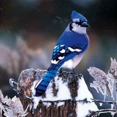 Bluejay - WOW, now that's blue!.It looks really pretty. Please check out my website Thanks. www.photopix.co.nz