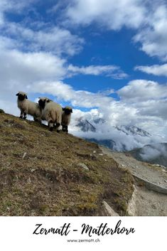 Zermatt – Matterhorn: On Saturday, 5 September 2020 at 10:00 hrs, the Blacknose sheep will be smartened up in the Tradition Julen stables for the Shepherd's Festival. You'll see how the sheep are washed, combed and made beautiful for the competition. A small snack of Valais is included. Book now! #Zermatt #Matterhorn Family Ski Holidays, Zermatt, The Shepherd, Adult Children, Family Activities, Stables, Switzerland, Sheep, Behind The Scenes