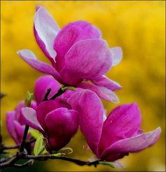 사진으로 보는 목련종류 구분법 - 목련, 함박꽃, 백목련, 자목련, 자주목련, 일본목련, 태산목 : 네이버 블로그
