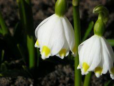 Bledule jarní.Květ je nejčastěji jeden, vzácněji dva. Okvětních lístků je 6, jsou víceméně stejně dlouhé, volné, asi 1,5-2,5 cm dlouhé. Jsou bílé barvy, pod špičkou mají žlutou až zelenou skvrnu.
