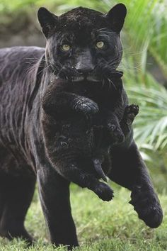 Black panther and cubs