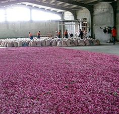 Rose Harvest, in Turkish Warehouse
