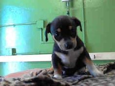 #A4741242 I'm an approximately 1 month old male terrier. I am not yet neutered. I have been at the Carson Animal Care Center since August 4, 2014. I am available on August 4, 2014. You can visit me at my temporary home at C113.  http://www.petharbor.com/pet.asp?uaid=LACO1.A4741242  Carson Shelter, Gardena, California 216 Victoria Street, Gardena, California 310.523.9566…