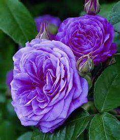 1000 images about david austin roses on pinterest. Black Bedroom Furniture Sets. Home Design Ideas