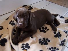 Lab Puppy   BRITTANY GREENE.....THIS IS SO CUTE!!!!!