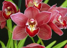 Low Cost Flowers Shipping And Delivery - An Anniversary Reward Without A Significant Selling Price Tag Cymbidium Yowie Flame 'Heather', Hccaos Australian Plants, Wild Orchid, Flower Quotes, My Secret Garden, Flower Delivery, Beautiful Flowers, Floral, Santa Barbara, 3