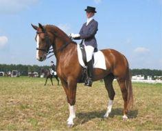 Gelderlander / Gelders Paard. A versatile Dutch breed and member of the KWPN studbook.