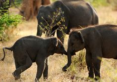 Baby Sri Lankan elephants frolic in wildlife sanctuary