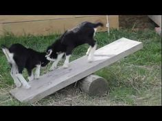 DIY Goat See-Saw. Be sure to not make it too high off the ground, so it is not tall enough that when an end comes down it could crush or injure a baby goat standing by.