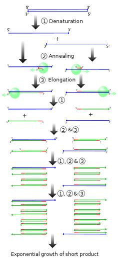 Mcq On Pcr Polymerase Chain Reaction Biotechnology border=