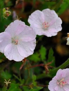 Cranesbill Geranium 'Apfelblute' - Translates to 'Appleblossom' and it certainly does look like one.