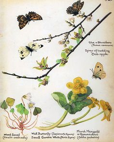 Spring blossoms and butterflies - Morning Earth Artist/Naturalist Edith Holden