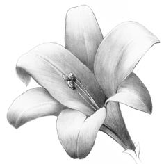 Shade a Lovely Lily - Overview - Drawspace Tulip Flower Drawing, Flower Sketch Pencil, Lilies Drawing, Shading Drawing, Beautiful Flower Drawings, Pencil Drawings Of Flowers, Pencil Shading, Leaf Drawing, Flower Sketches
