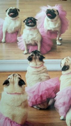 #LOL OMG this is too cute! Nothing like pugs in tutu's looking at themselves in the mirror. Very #funny! ~Me #dogs