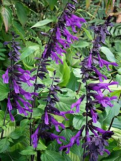 Salvia Amistad - 1m tall / good for back border but not sure how they will go with alliums - maybe need something white