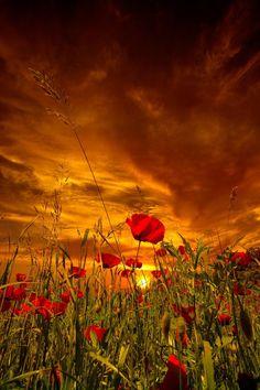 "lifeisverybeautiful: ""Poppies and sunset by riccardo lubrano """