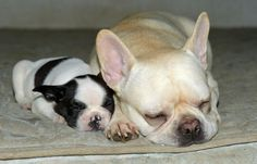 Mr Bacon the French Bulldog and Nikki the frenchie - all courtesy of today's Daily Puppy.