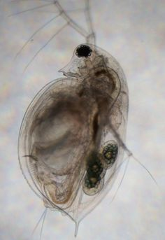 daphnia heart rate and kcl A change in daphnia heart rate may not be a predictor of a similar change in human (or vertebrate) heart rate under the same conditions, but.