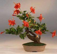 Bonsai - Hibisco, Rosa de la China, Hibisco chino
