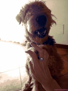My'Dale love Jewels_Funny Airedale!Give me five and smile like my'Dale! Read the full post on sophiworldblog!