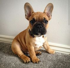 Black and fawn French bulldog puppy